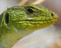 reptileye