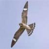 CommonNighthawk