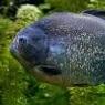 piranha45